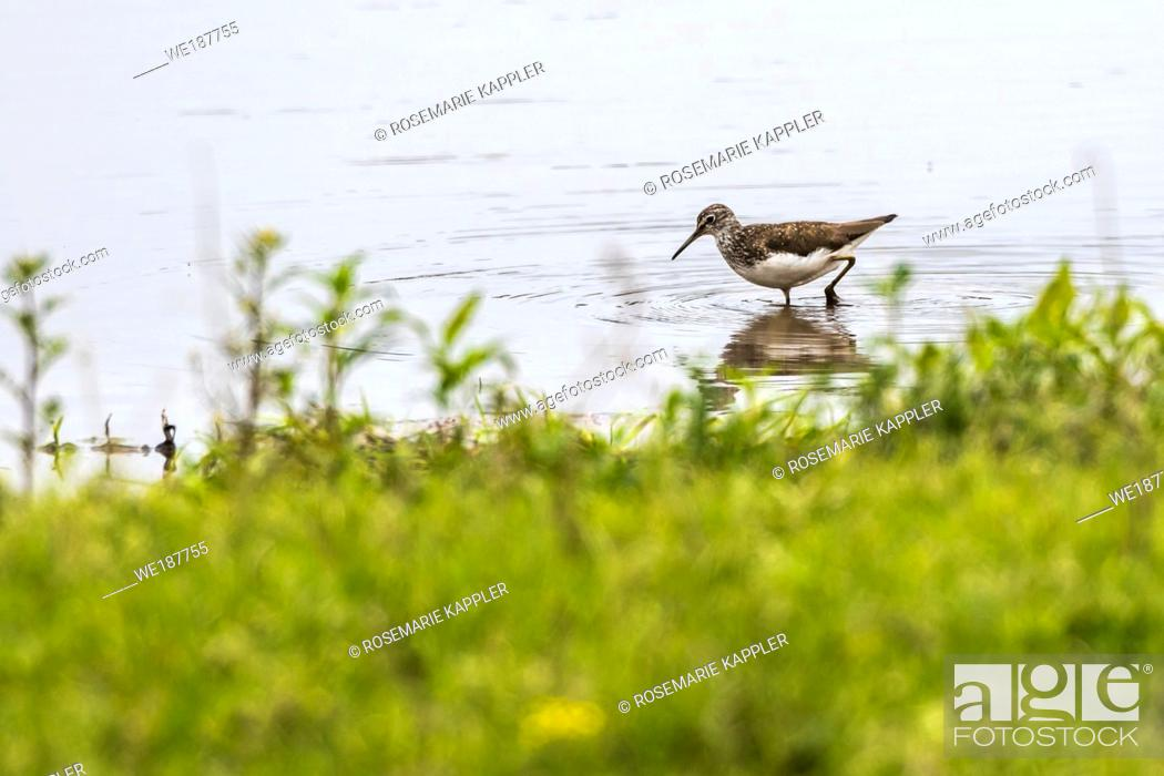 Stock Photo: A green sandpiper is searching for fodder.