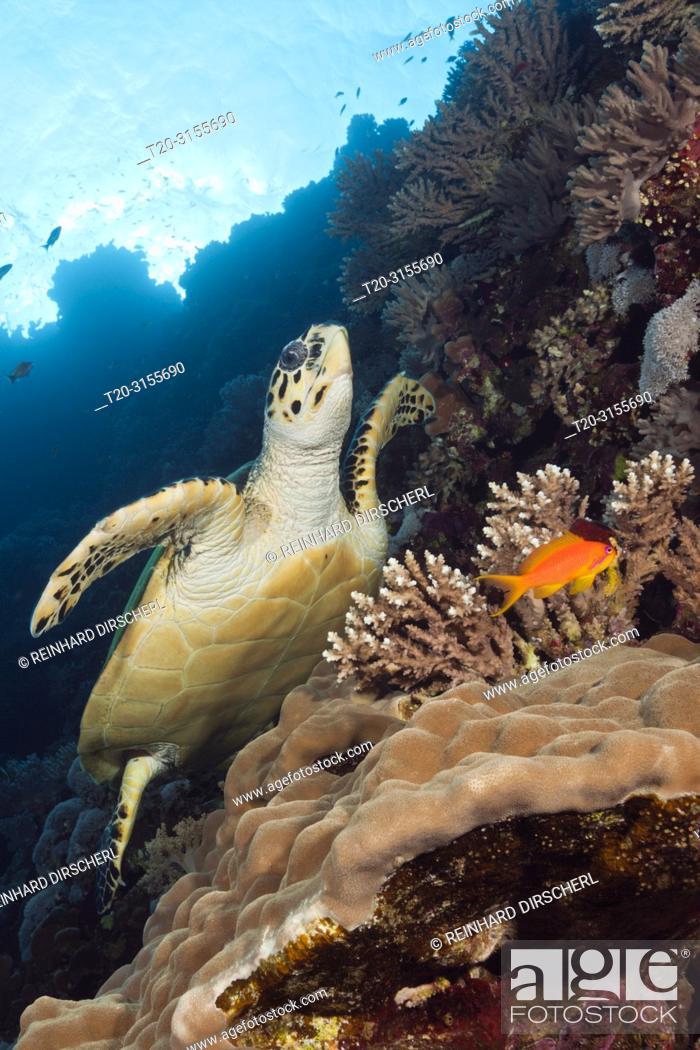 Stock Photo: Hawksbill Sea Turtle, Eretmochelys imbricata, Brother Islands, Red Sea, Egypt.