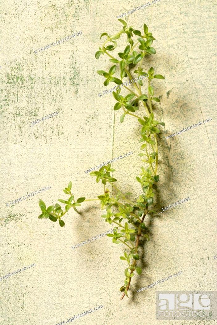 Stock Photo: thyme palasianus.