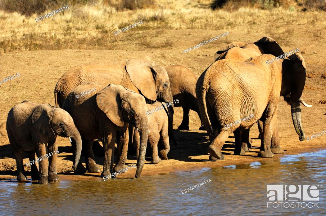 Stock Photo: Herd of African Elephants at a water hole, Madikwe Game Reserve, South Africa.