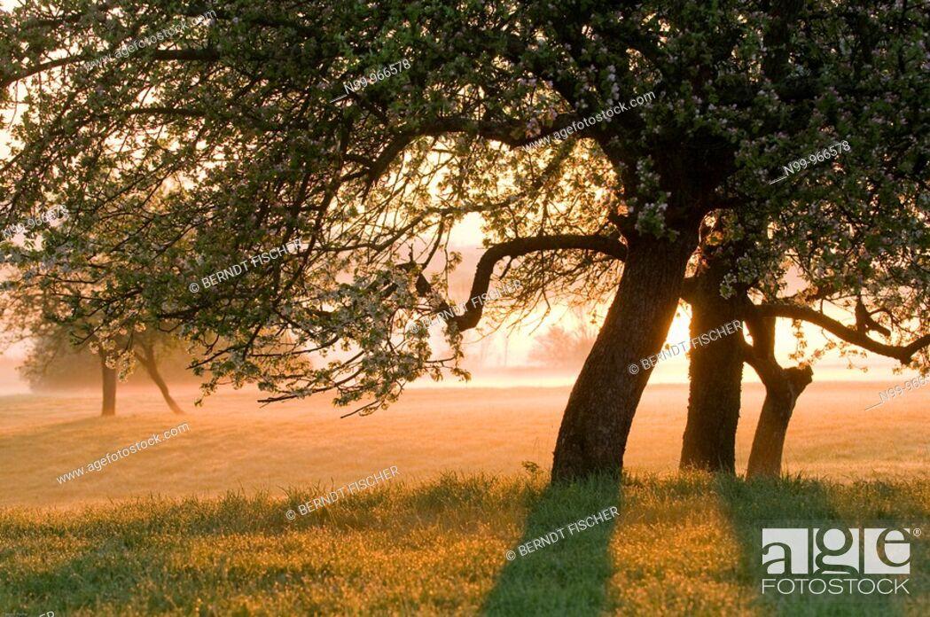 Stock Photo: Orchard, appletrees in flower, sunrise and morning fog, Franconian Switzerland, Bavaria, Germany.
