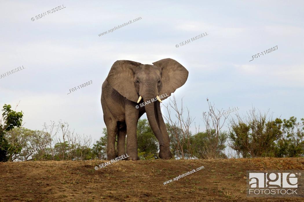 Stock Photo: An African Elephant walking towards camera.