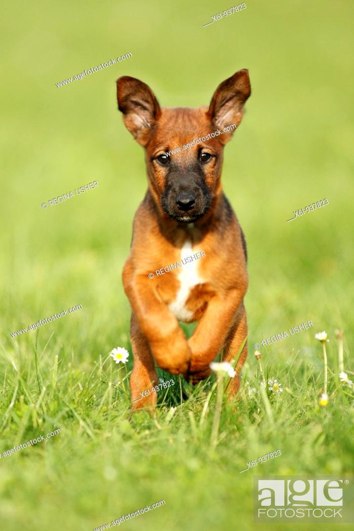 Stock Photo: Wetfalen Terrier Puppy - running across garden.
