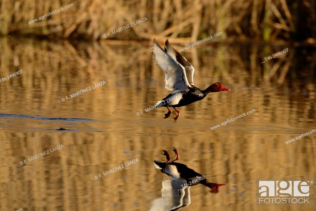 Stock Photo: Male red duck Netta rufina. Photographed in the lagoon of Rivas Vaciamadrid in the Southwest Regional Park in Madrid.
