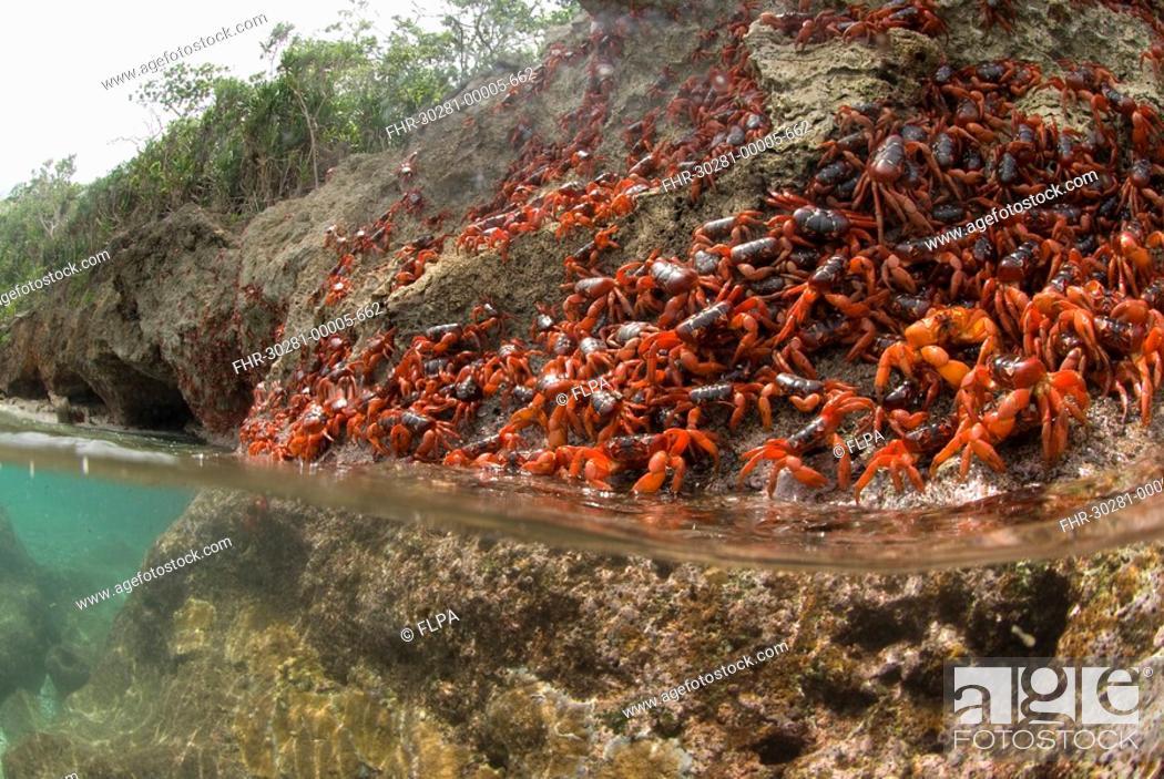 Stock Photo: Christmas Island Red Crab Gecarcoidea natalis adults, mass on sea cliff rocks during annual migration, Christmas Island, Australia.
