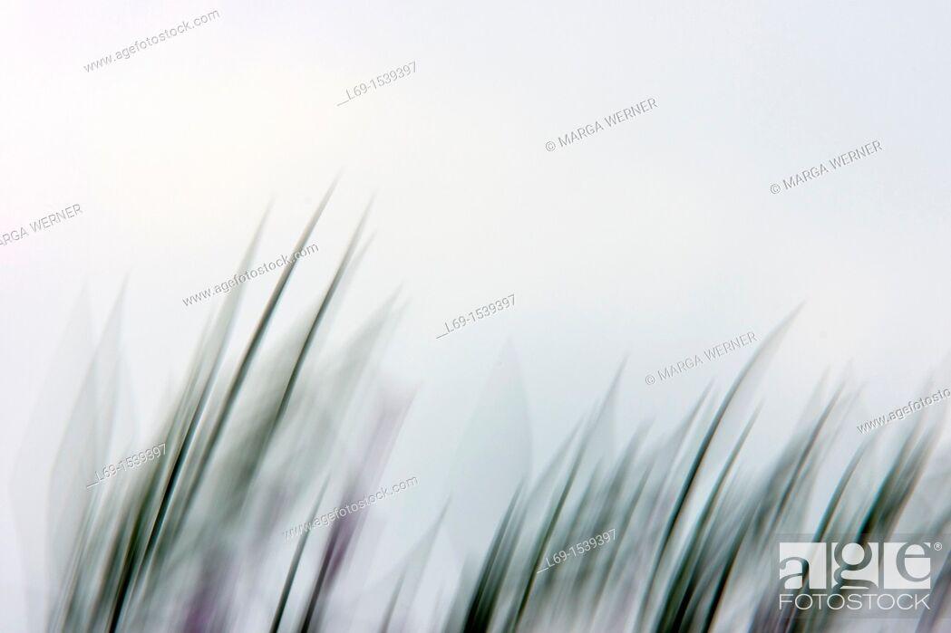 Stock Photo: Willowherb, abstract.