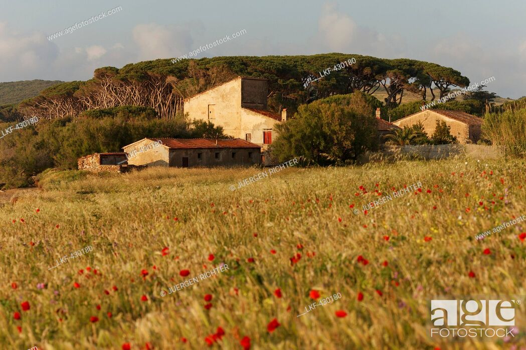 Stock Photo: Country house surrounded by pine trees and poppies, Golfo di Baratti, near Populonia, province of Livorno, Tuscany, Italy, Europe.