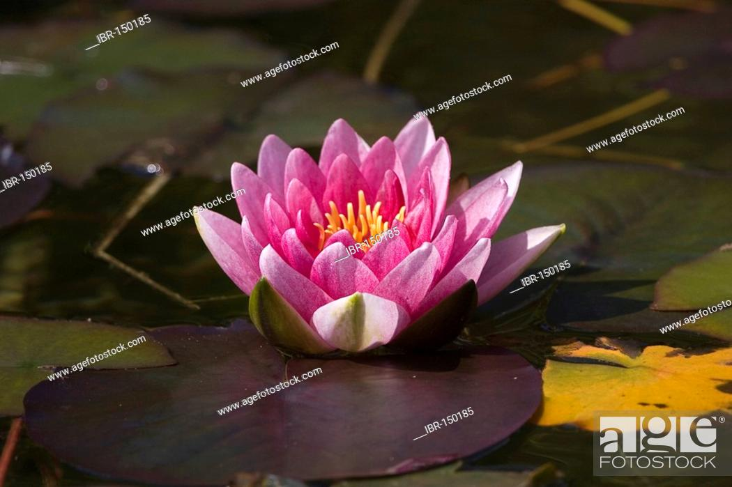 Stock Photo: Water lily Nymphaea hybrid.