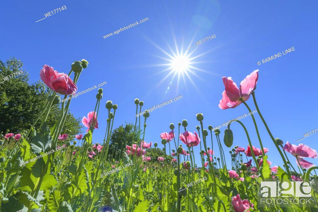 Stock Photo: Opium poppy in the morning with sun, Germerode, Werra-Meissner district, Hesse, Germany.