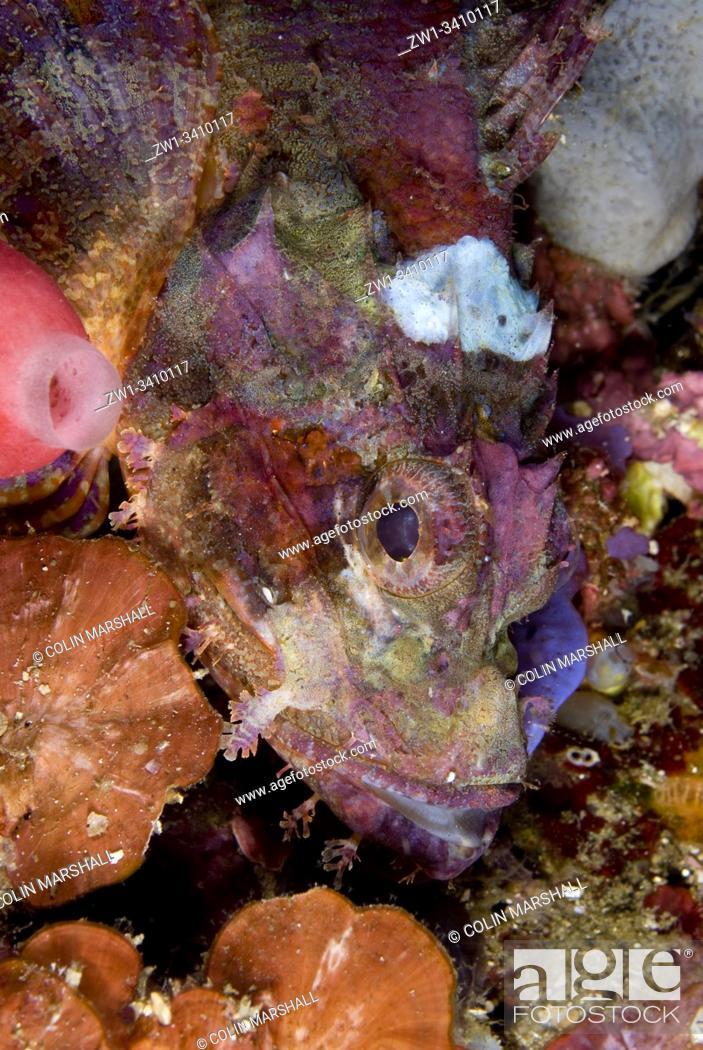 Stock Photo: Colourful Tassled Scorpionfish (Scorpaenopsis oxycephala, Scorpaenidae Family), Jiko Yance dive site, Lembeh Straits, Sulawesi, Indonesia, Pacific Ocean.