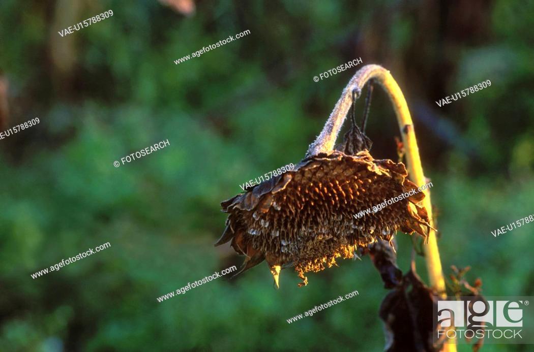 Stock Photo: condolement, austria, calf, bloom, autumn, dry, arid.