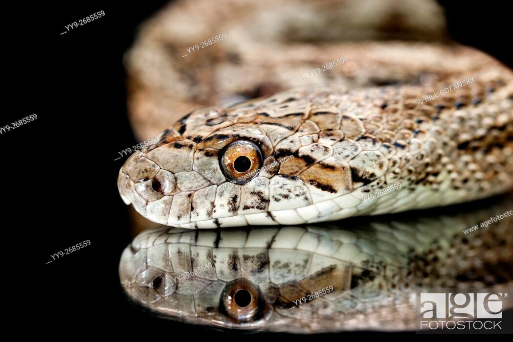 Stock Photo: Great Plains Rat Snake (Pantherophis emoryi) [Controlled Subject] - Camp Lula Sams, Brownsville, Texas, USA.