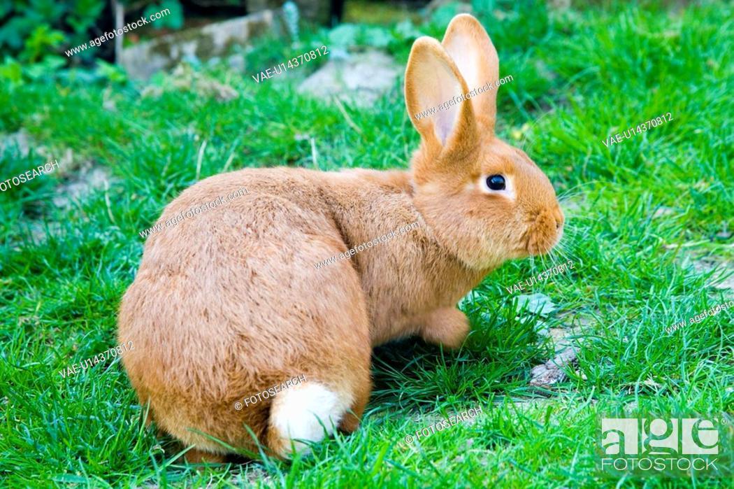 Stock Photo: fauna, hares, hase, pet, pets, bunny, rabbit.