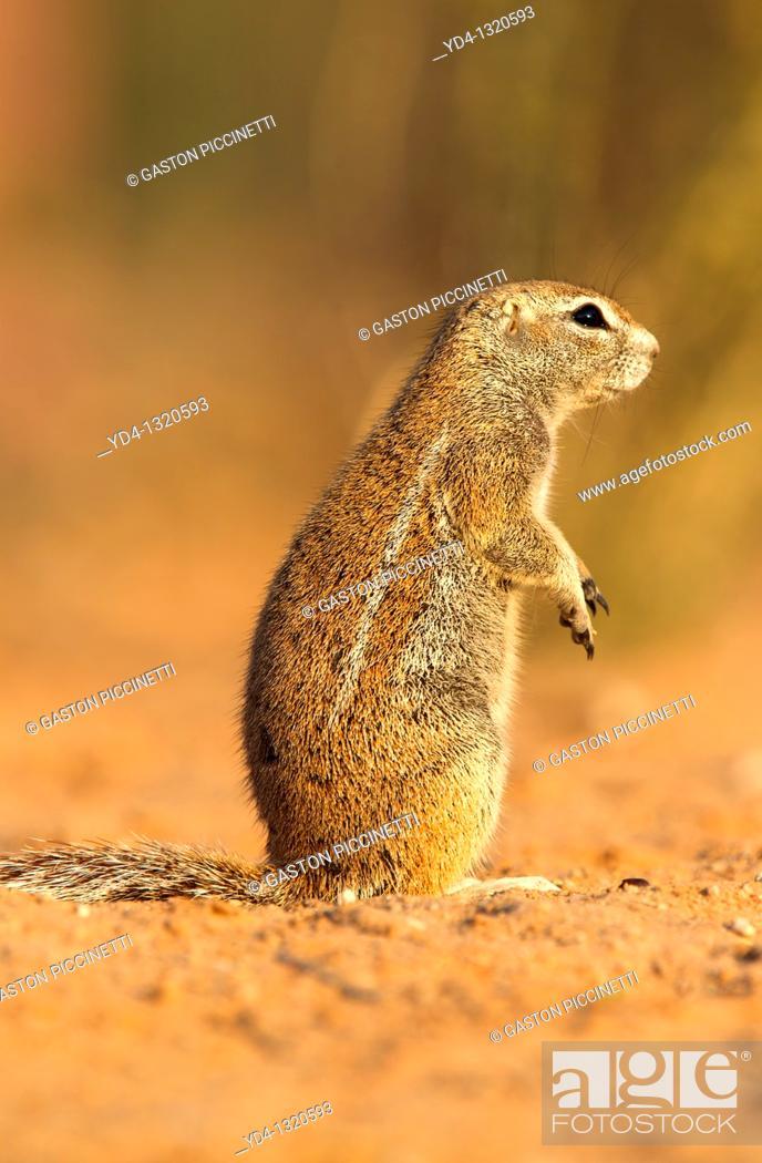Stock Photo: Ground Squirrel Xerus inauris, Kgalagadi Transfrontier Park, Kalahari desert, South Africa.