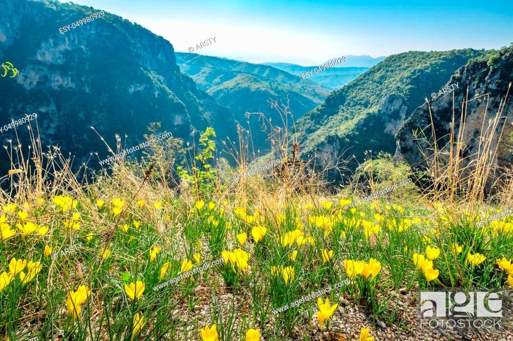 Stock Photo: Blooming yellow crocuses on the edge of Vikos gorge near Monodendri. Zagoria, Epirus, Greece, Europe.