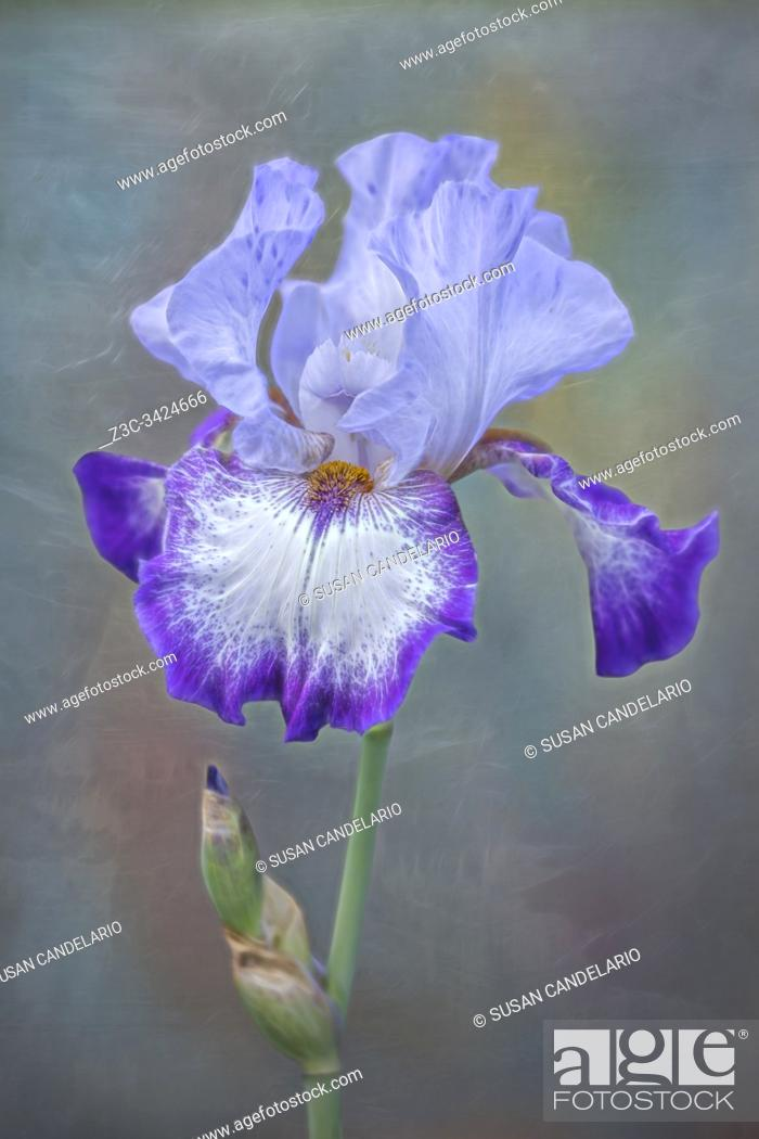 Stock Photo: Single gracious purple and lavender Bearded Iris flower and bud against a soft background.