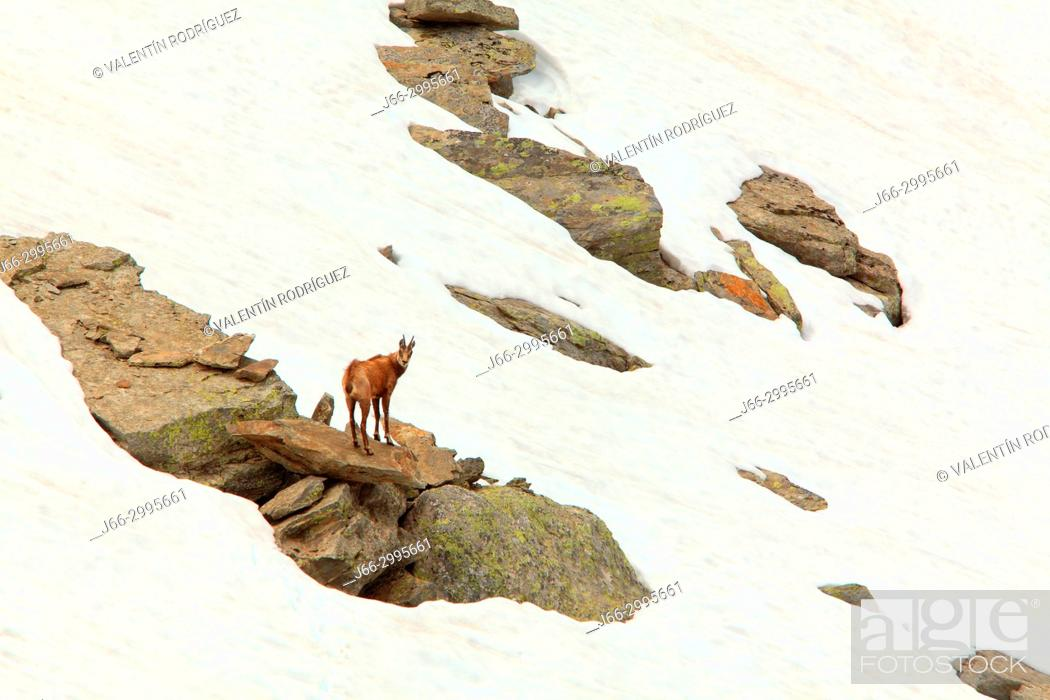 Stock Photo: Chamois (Rupicapra rupicapra) in the national park Gran Paradiso. Italy.
