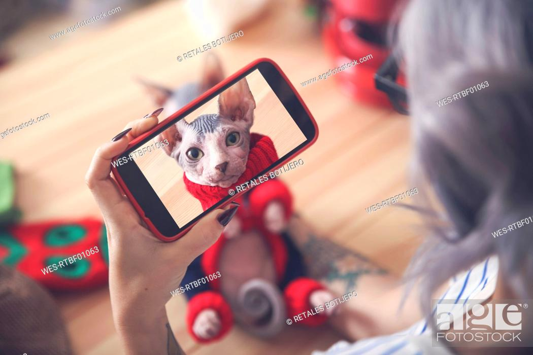 Stock Photo: Woman taking cell phone picture of Sphynx cat wearing pullover.
