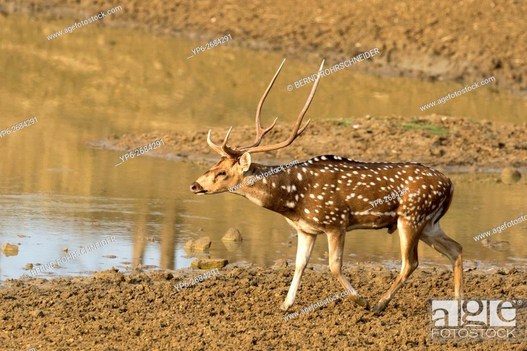 Photo de stock: Chital (Axis axis), male beside waterhole, Tadoba National Park, Maharashtra, India.