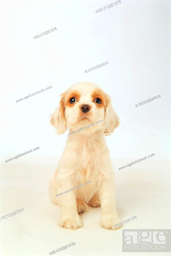 Stock Photo: animal, 35mm, americancockerspaniel, cockerspaniel, spaniel, domestic animal, film.