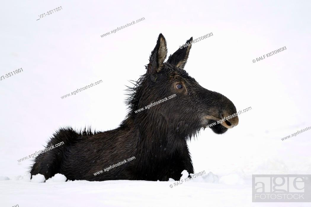 Stock Photo: Moose / Elch ( Alces alces ) in its first winter, young calf, resting, lying, ruminating in snow, looks cute and funny, Yellowstone area, Wyoming, USA.