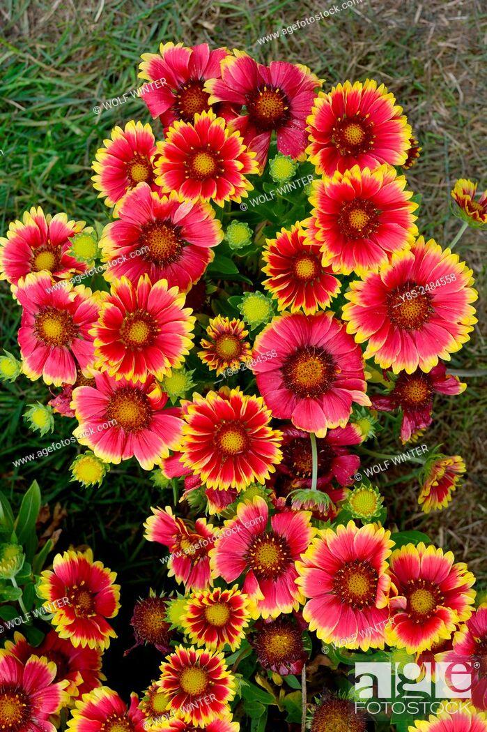 Stock Photo: Country Fair at Wiehnhausen Monastery. Wiehnhausen, Lower Saxony, Germany. Gaillardia blossoms.