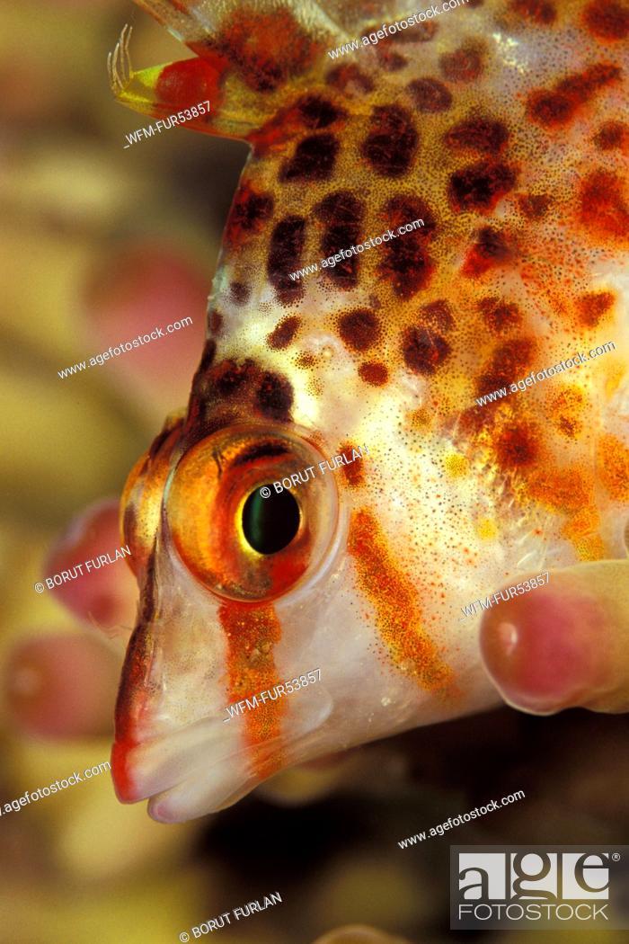 Stock Photo: Dwarf Hawkfish, Cirrhitichthys falco, Mabul, Borneo, Malaysia.