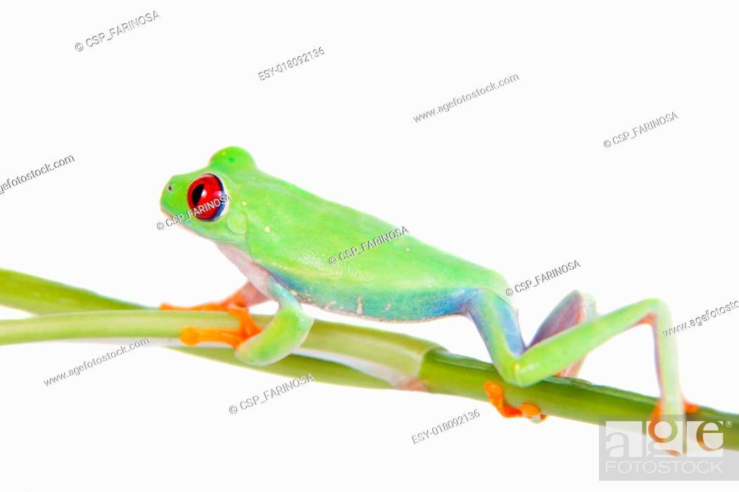 Stock Photo: Beautiful red eyed tree frog on white background.