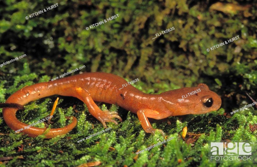 Stock Photo: Oregon Salamander British Columbia to Mexico Ensatina escholtzii oregonensis.