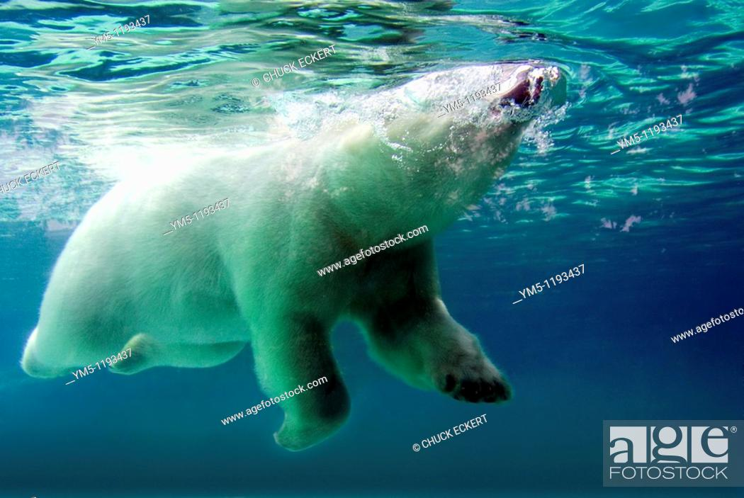 Imagen: Polar Bear surfacing to breath while swimming underwater  Concept could be 'Coming up for Air' or 'Relief' or 'Take a Breath or Breather'.