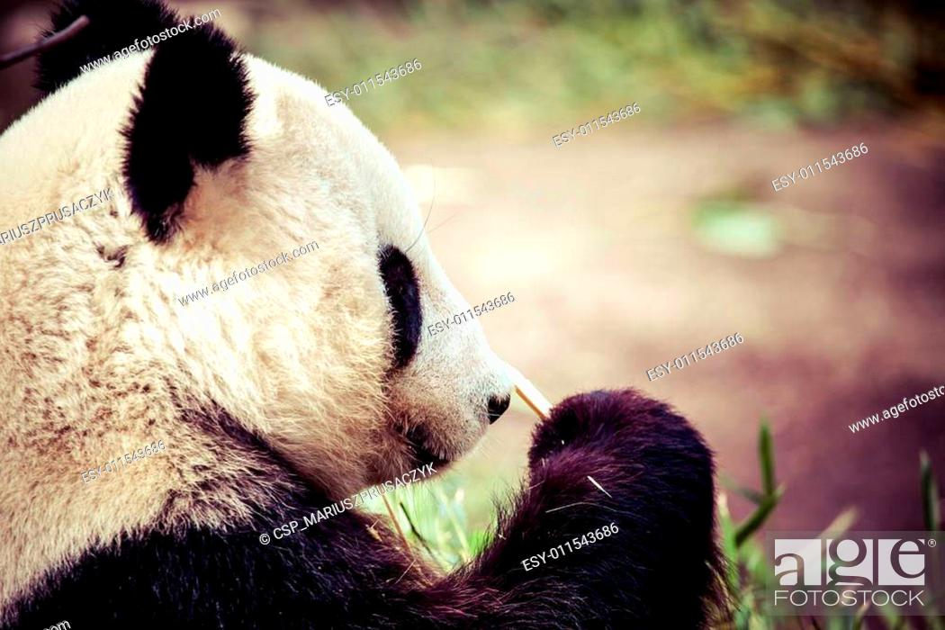 Stock Photo: Giand panda bear eating bamboo.