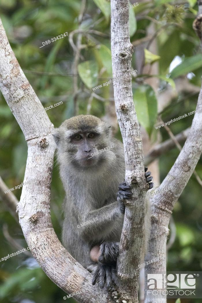 Stock Photo: Asia, Indonesia, Borneo, Tanjung Puting National Park, Crab-eating macaque or long-tailed macaque (Macaca fascicularis), in a tree near by the water.