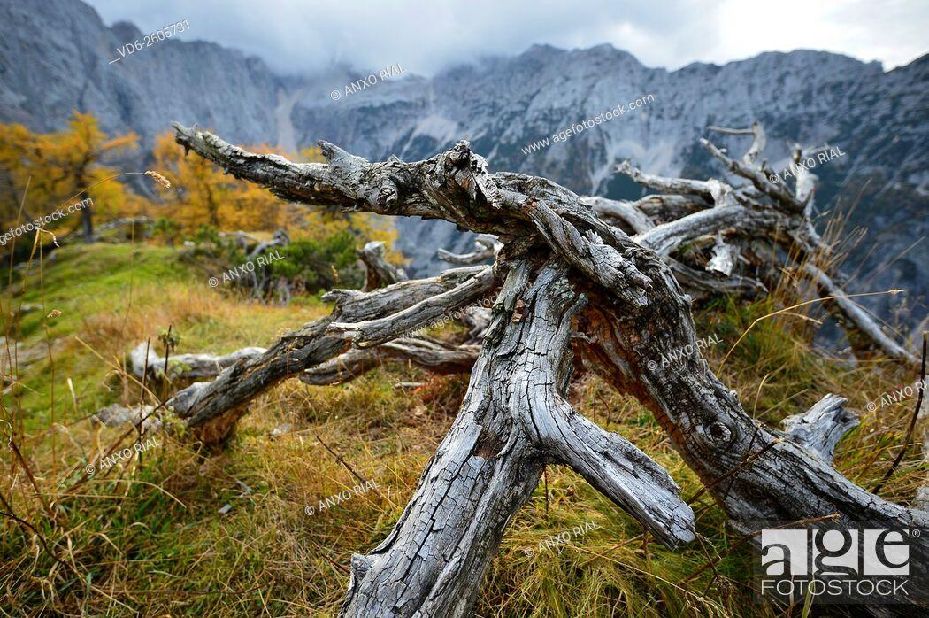 Stock Photo: Slovenia. Julian Alp. dry tree.