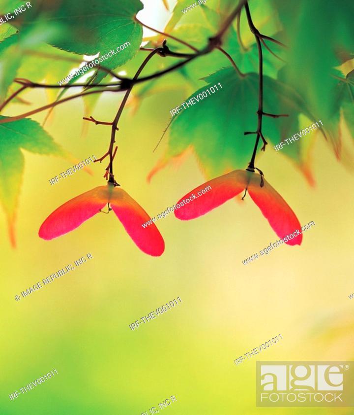 Stock Photo: maple seed.