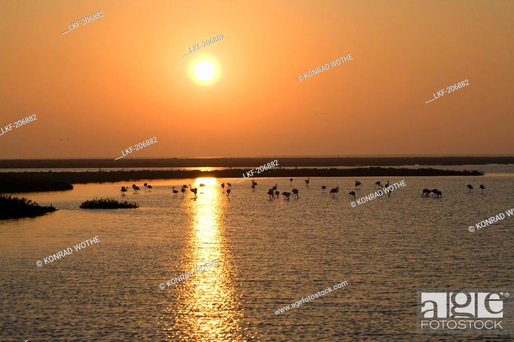 Stock Photo: Greater Flamingoes at sunrise, Phoenicopterus ruber, Camargue, France.
