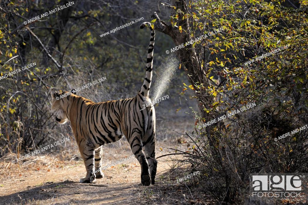 Stock Photo: Bengal Tiger (Panthera tigris tigris) marking territory at tree, Ranthambhore national park, Rajastan, India.