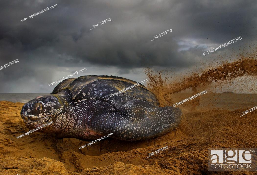 Stock Photo: Dermochelys coriacea. Leatherback turtle on the beach. Remire-Montjoly. Spawning and covering eggs. French Guiana.