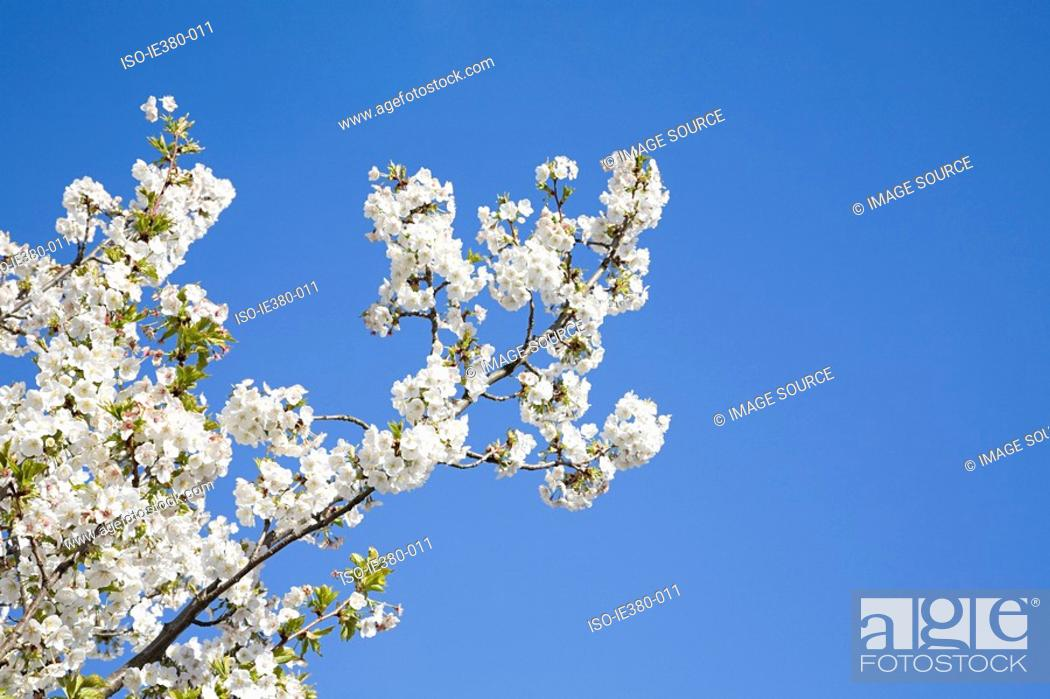 Stock Photo: Blossoming tree in spring.