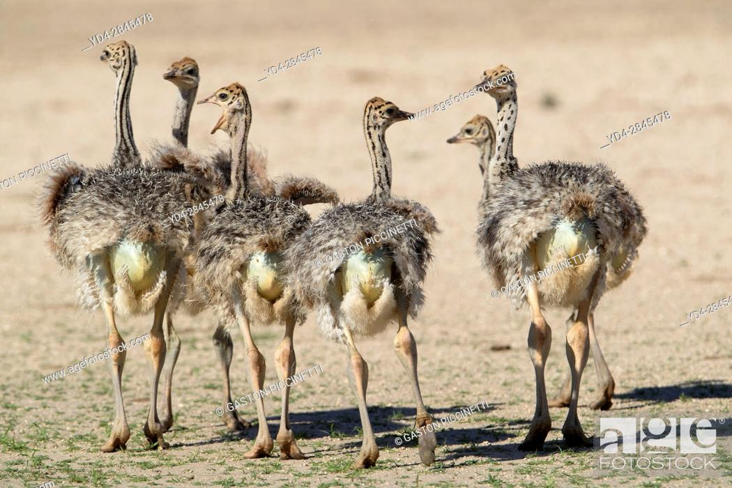 Imagen: Common ostrich (Struthio camelus) - Youngs, Kgalagadi Transfrontier Park, Kalahari desert, South Africa.