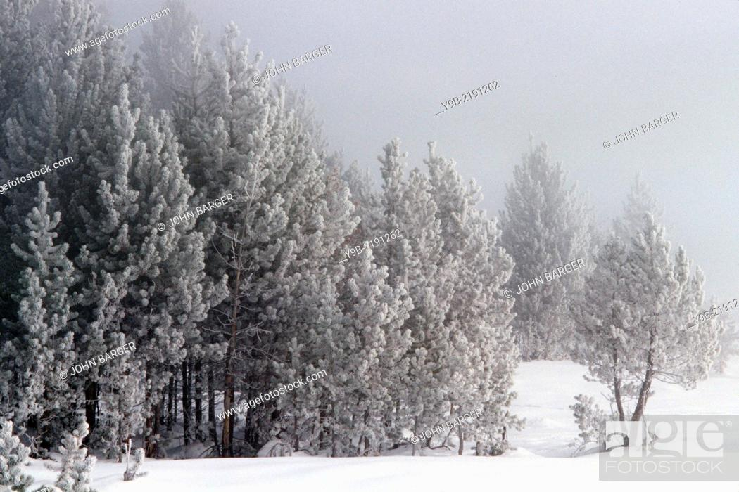 Stock Photo: Winter chill coats lodgepole pines with frost, Upper Geyser Basin, Yellowstone National Park, Wyoming, USA.