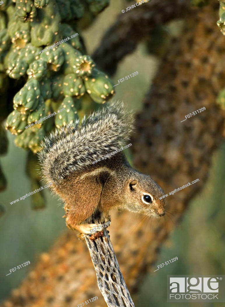 Stock Photo: Harris' Antelope Squirrel (Ammospermophilus harrisi) - Also called Yuma Antelope Squirrel - Arizona - Found in southwestern Arizona and northwestern Mexico -.