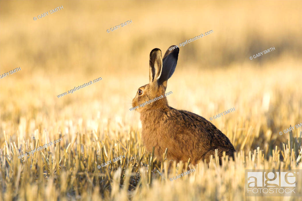 Stock Photo: Brown Hare, lepus capensis, adult in wheat stubble, Norfolk, UK, August.