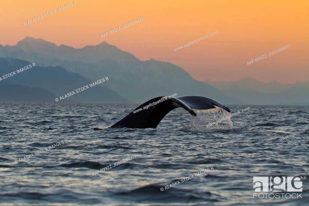 Stock Photo: Close up of a Humpback Whale tale dripping water as the whale dives in Lynn Canal, Southeast Alaska, Summer.