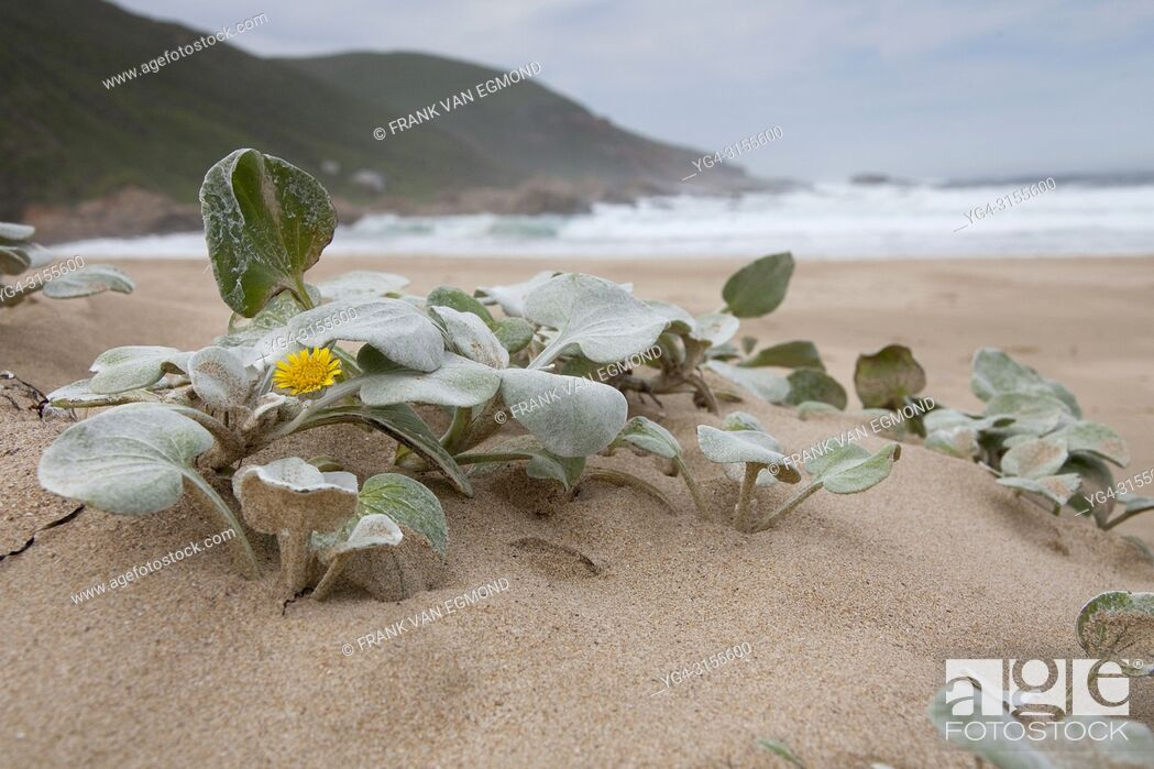 Stock Photo: South African Beach Daisy (Arctotheca populifolia). Native to South Africa. Robberg Nature Server. Plettenberg Bay, South Africa.