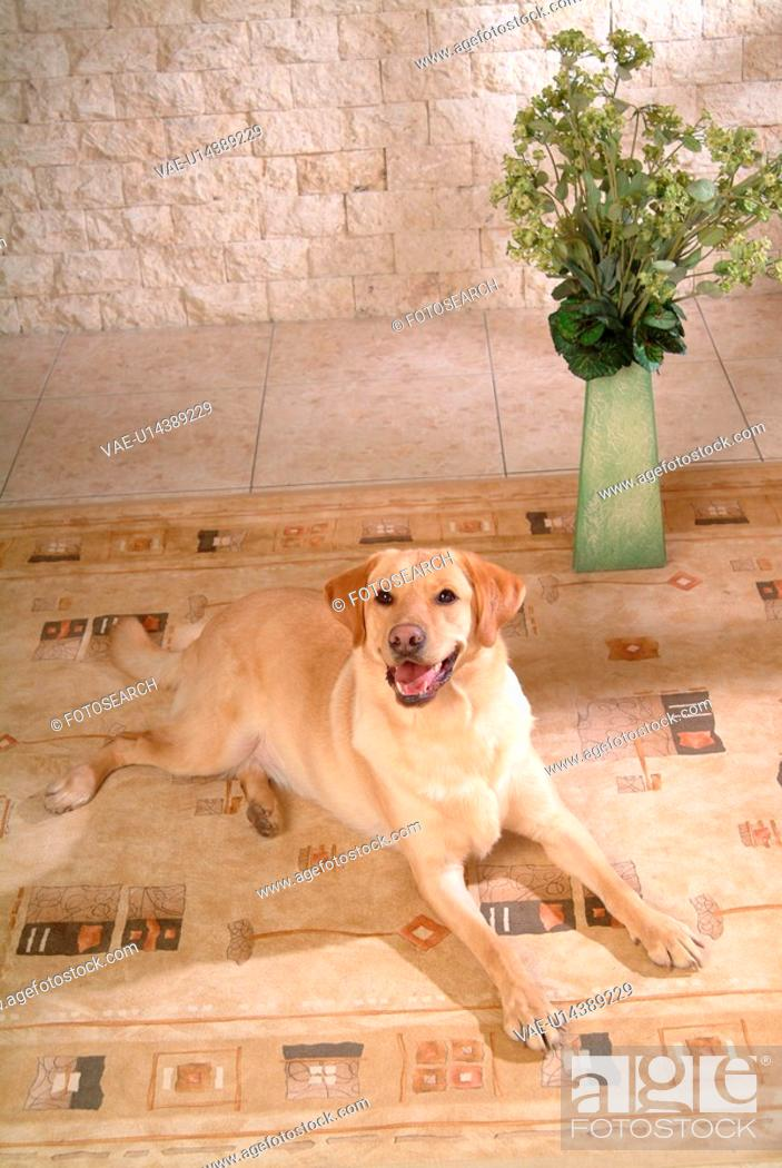 Stock Photo: house pet, labrador, canines, domestic, retriever, labrador retriever.