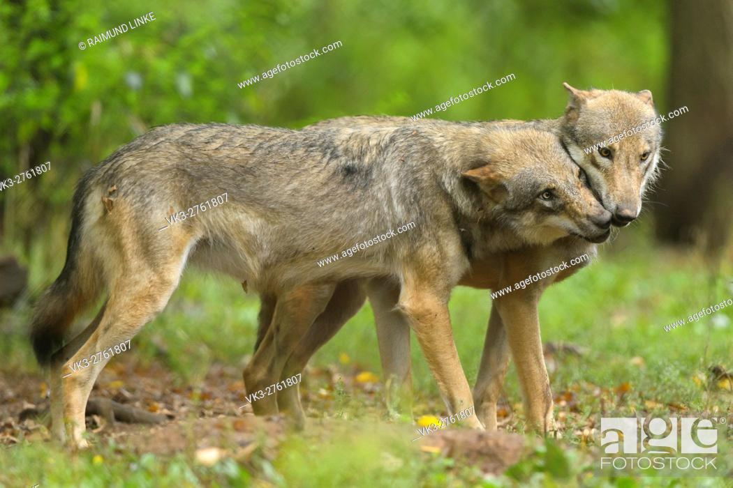 Imagen: European Gray Wolf, Canis lupus lupus, two Wolves, Germany.