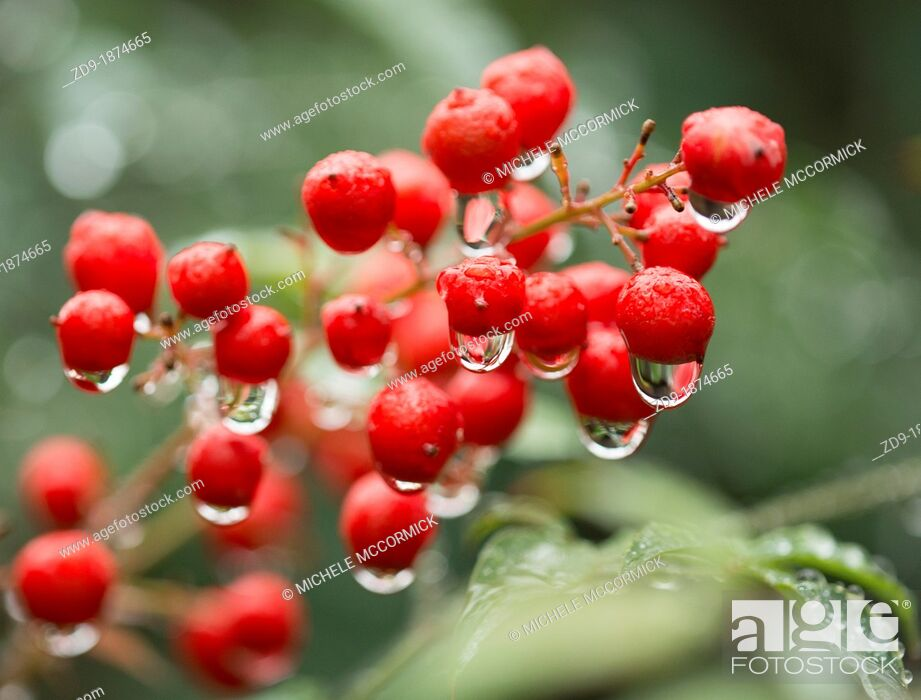 Stock Photo: Raindrops hang tenuously on bright red pyracantha berries.