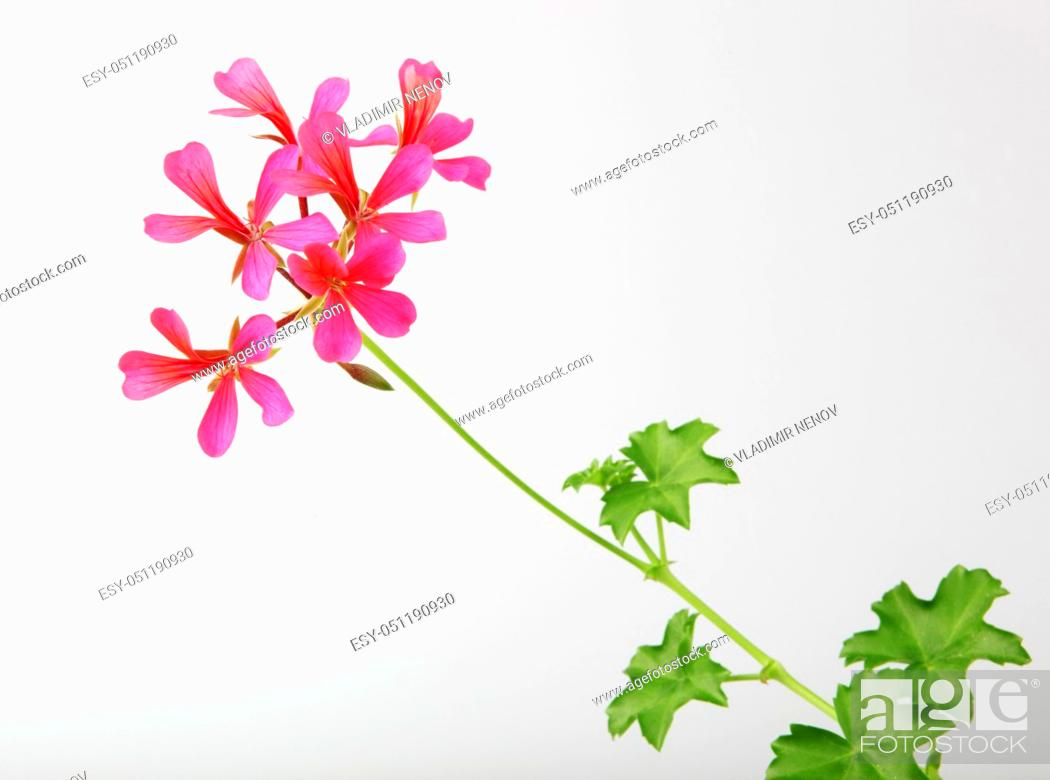Imagen: Geranium Pelargonium Flowers Isolated On White Background.