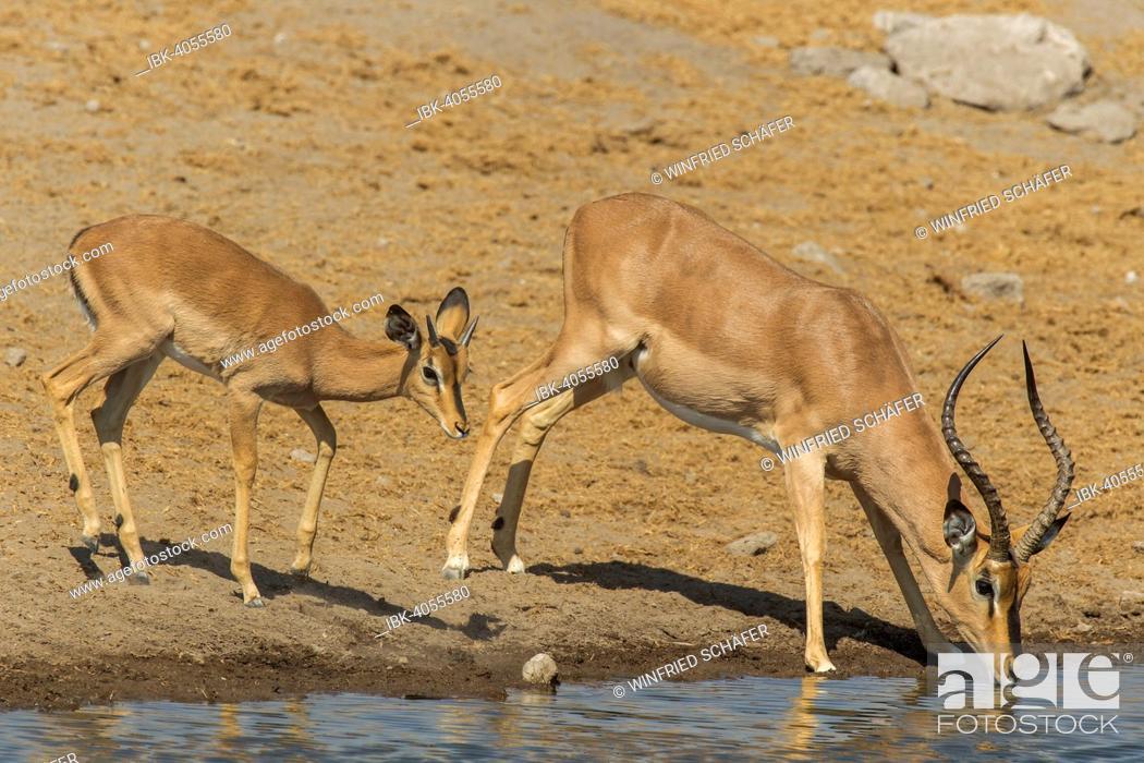 Imagen: Black-faced Impalas (Aepyceros melampus petersi), male and female drinking at a waterhole, Etosha National Park, Namibia.