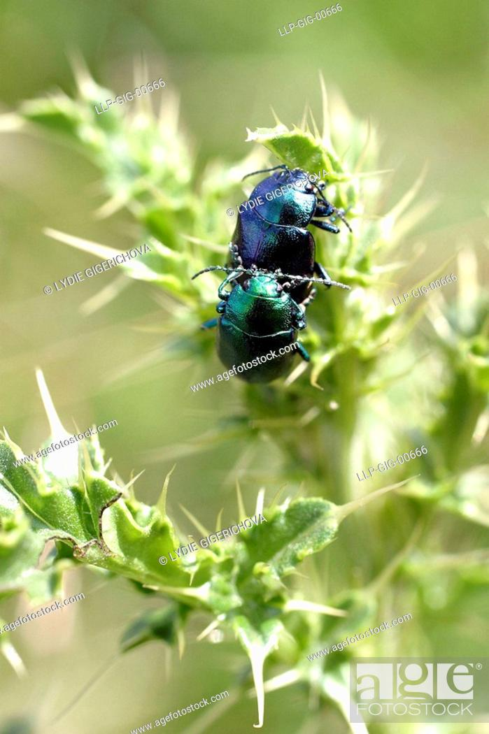 Stock Photo: Couple of beetles and thistles.